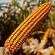 Семена кукурузы КРАБАС, фото 2