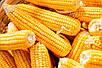 Семена кукурузы ИСХ 303, фото 2
