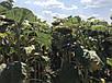 Cемена подсолнечника  Лимагрейн ЛГ 5485, фото 4
