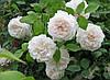 Роза английская вьющаяся Shining Bright (Сияющая невеста) класс АА (3 прививки)
