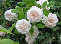 Роза английская вьющаяся Shining Bright (Сияющая невеста) класс АА (3 прививки), фото 1