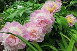 "Пион ""Raspberry Sundae"" (Распберри Сандей) корень, фото 3"