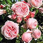 Саджанці плетистої троянди Джардина (Rose Giardina), фото 2
