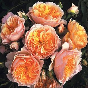 Саженцы плетистой розы Джинджер Силлабаб (Rose Ginger Syllabub)