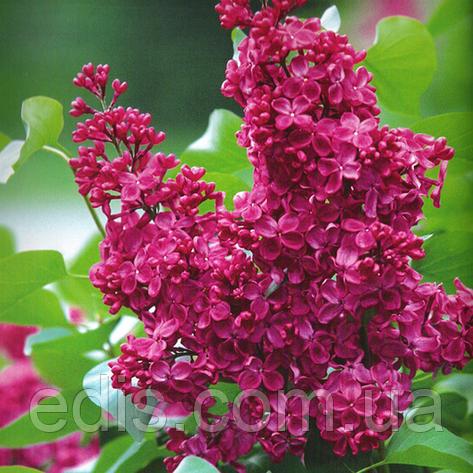 Сирень Красная Москва, фото 2
