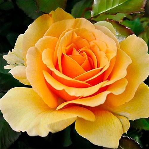 Саженцы розы флорибунда Изи Гоуин (Rose Easy Going)