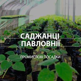 Саджанці Павловнії для ділової деревини