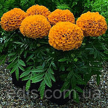 Бархатцы низкорослые Antigua Orange F1 5 семян в оболочке, PREMIUM Яскрава