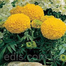 Бархатцы низкорослые Antigua Gold F1 5 семян в оболочке, PREMIUM Яскрава