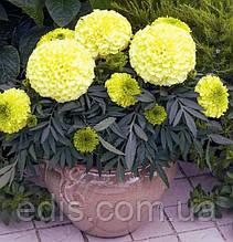 Бархатцы низкие Antigua Yellow F1 5 семян в оболочке, PREMIUM Яскрава