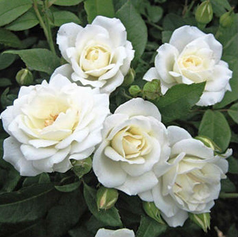 Саджанці троянди - плетистої Айсберг (Rose Iceberg)