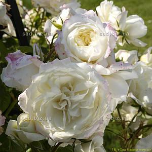 Роза плетистая 'Аляска' в 7-литровом контейнере