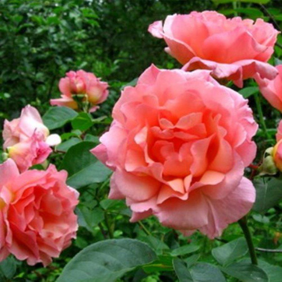 Саженцы плетистой розы Компассион (Rose Compassion)