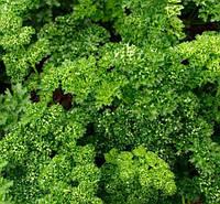 Семена петрушки Робуст, (250 гр.), Clause, Франция