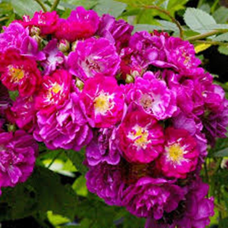 Саженцы плетистой розы Перениал Блю (Rose Perennial Blue) ПКС