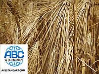 Ярий ячмінь сорт Геліос високоврожайний 55-65 ц/га. Середнєранній 90-93 дні ячмінь Геліос засухостійкий. Елита