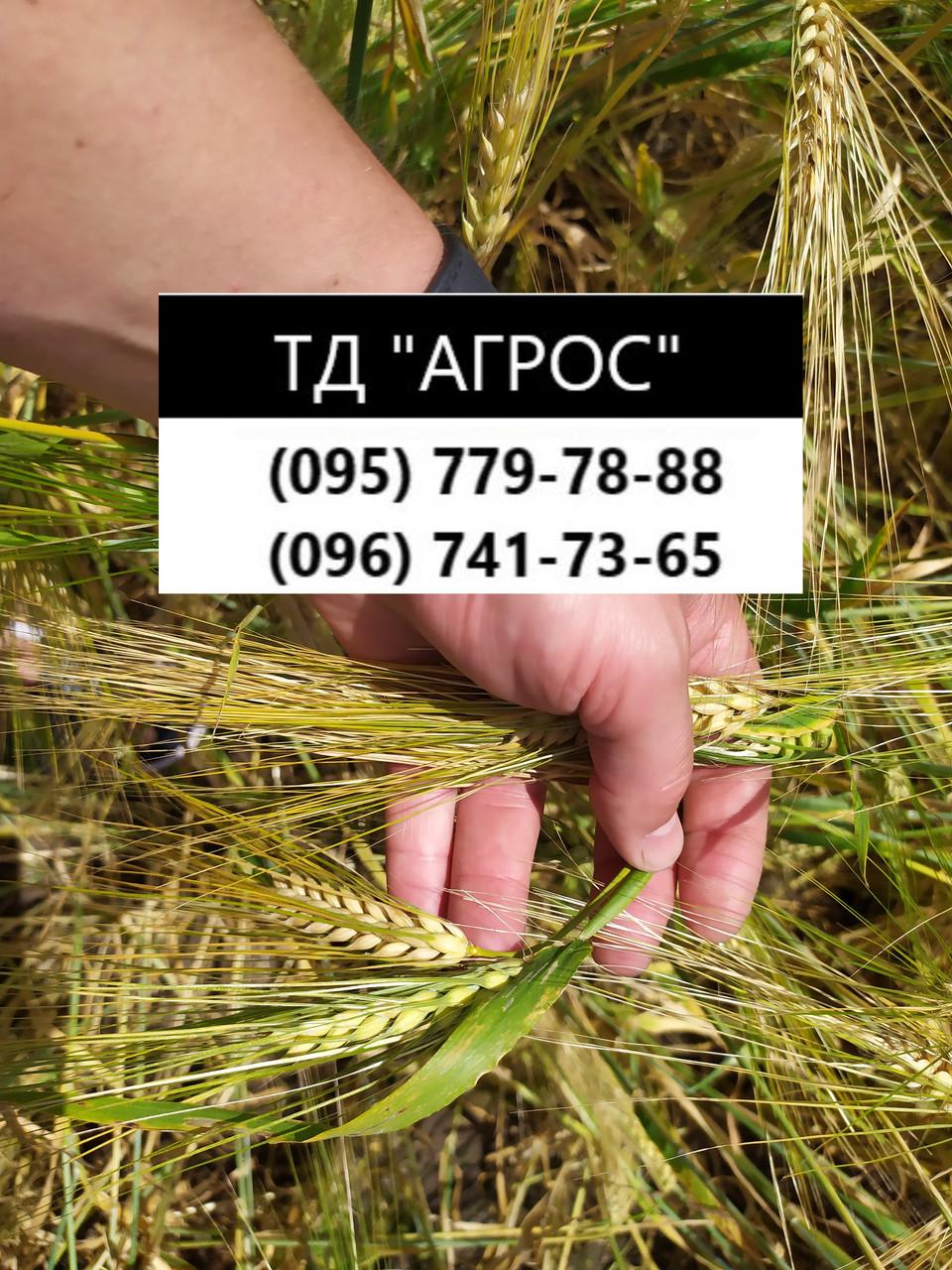 Ранній 90-93 дні ярий ячмінь Геліос високоврожайний 55-65 ц/га. Сорт Геліос стійкий до хвороб та посухи. Елита