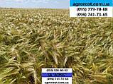 Ранній 90-93 дні ярий ячмінь Геліос високоврожайний 55-65 ц/га. Сорт Геліос стійкий до хвороб та посухи. Елита, фото 3