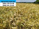 Ранній 90-93 дні ярий ячмінь Геліос високоврожайний 55-65 ц/га. Сорт Геліос стійкий до хвороб та посухи. Елита, фото 4