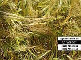 Ранній 90-93 дні ярий ячмінь Геліос високоврожайний 55-65 ц/га. Сорт Геліос стійкий до хвороб та посухи. Елита, фото 2