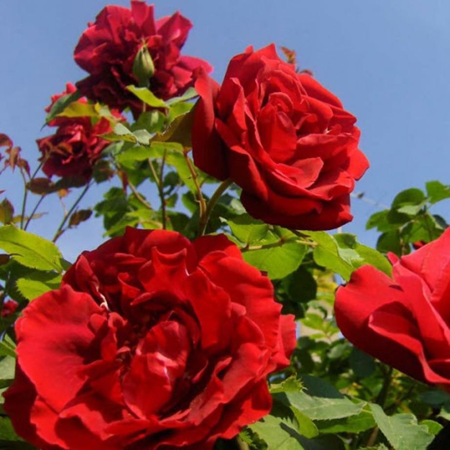Саженцы плетистой розы Сантана (Rose Santana)