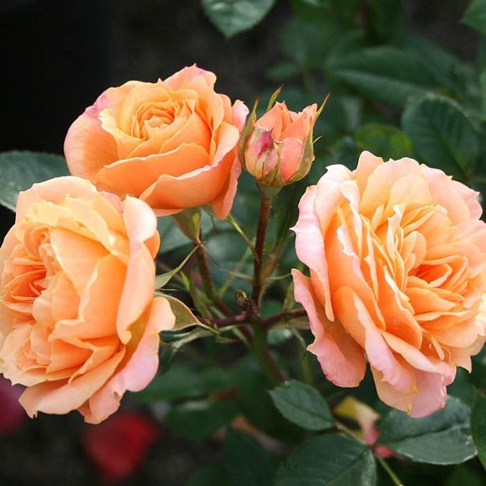 Саженцы чайно-гибридной розы Априкот (Rose Apricot)