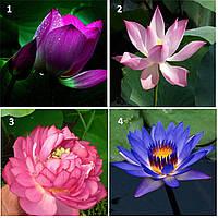5 семян лотоса бонсай 10 видов на выбор / семена лотоса бонсай 5 штук  // Насіння лотосу бонсай - водяна лілія