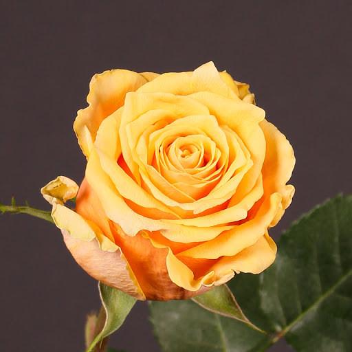 Саджанці чайно-гібридної троянди Скайлайн (Rose Skyline)
