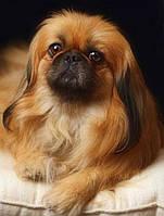 20х25 см алмазная мозаика ПЕКИНЕС вышивка картина мозаїка діамантова вишивка собака песик пес пекінес 20 х 25