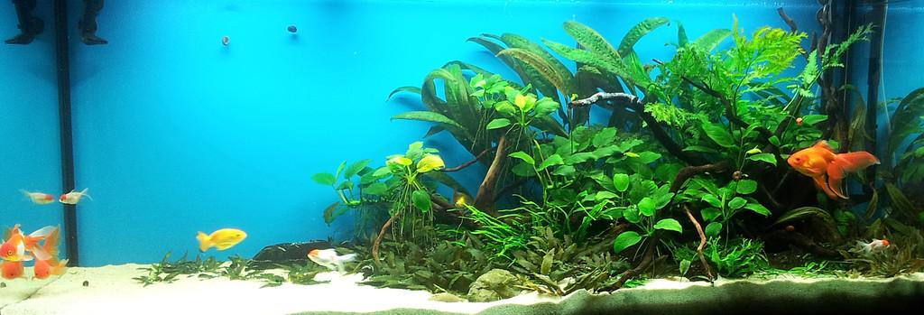 Аквариум Juwel RIO 400 для золотых рыбок. 3 месяца после запуска