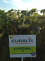 Семена подсолнечника ЕС Петуния OR6+