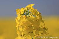 On-line спостереження за вирощуванням озимого ріпаку ГИБРІРОКУ. ЧАСТИНА 1