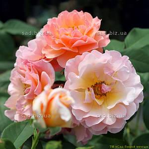 Роза плетистая 'Арабия' в 7-литровом контейнере