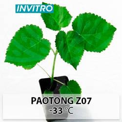 Саджанці морозостійкої Павловнії Paotong Z07 (Паотонг З07) invitro