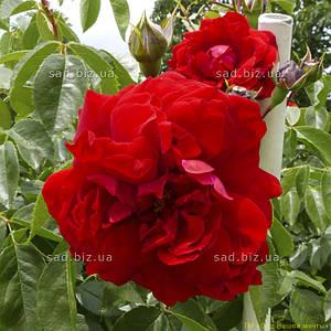 Роза плетистая 'Бельканто' в 7-литровом контейнере