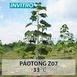 Однорічні саджанці Павловнії Paotong Z07 (1.5 м.—2 м.) invitro