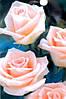 Роза чайно-гибридная Vivaldi (Вивальди)