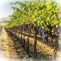 Проект закладки виноградника