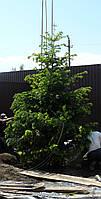 Озеленение крупномерными растениями