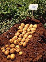 Картопля насіннєва.АКТРИС.Agroplant