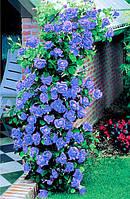 Роза вьющаяся Blue Moon (Блу Мун) Класс АА
