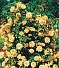 Роза вьющаяся Golden Shouers (Голден Шоуерс)