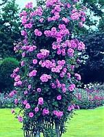 Роза вьющаяся Veilchenblau (Вейченблау),фиолетовая