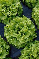КАЙПИРА / CAIPIRA – салат, Enza Zaden 5 000 семян