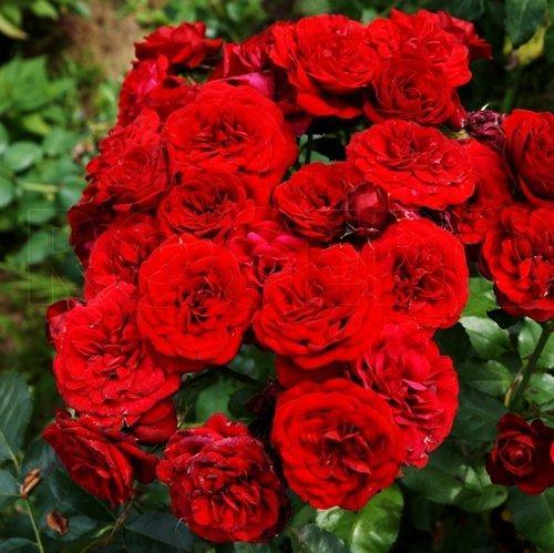 Роза бордюрная Лава Глоут (Lavaglut )