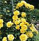 Роза плетистая Голден Гейт, фото 3