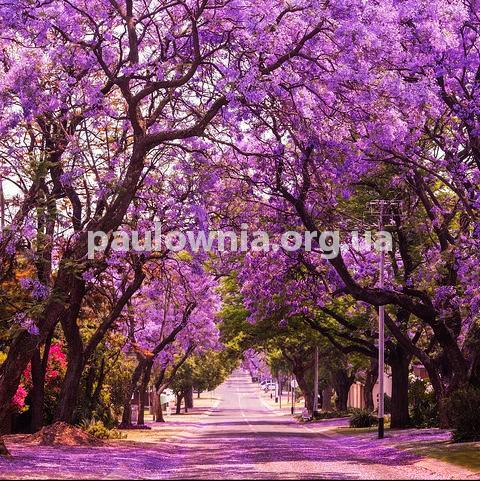 Paulownia Garden, саджанці Павловнії для озеленення та ланшафтного дизайну