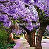 Paulownia Garden, саджанці Павловнії для озеленення та ланшафтного дизайну, фото 2