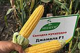 Цукрова кукурудза Джамала F1, Sh2-тип, 1000 насінин на 1.5 сотки,  73-75 днів, фото 2