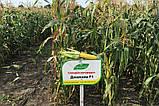 Цукрова кукурудза Джамала F1, Sh2-тип, 1000 насінин на 1.5 сотки,  73-75 днів, фото 4